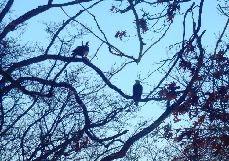 Eagles Eating