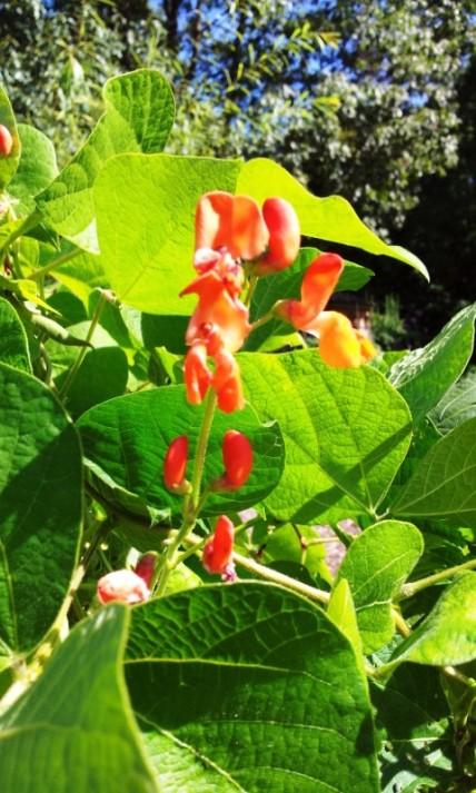 Scarlet Runner Bean