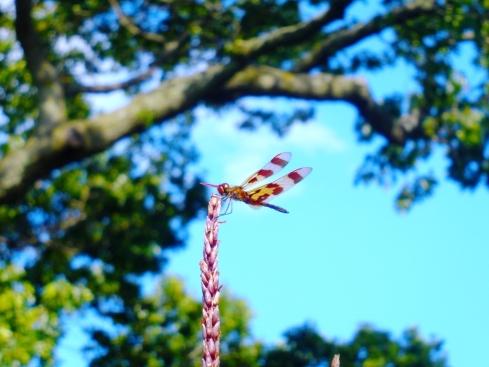 Dragonfly on Corn
