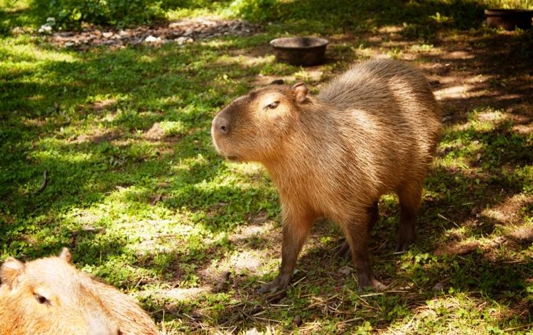 Mommy Capybara